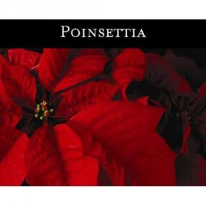 Poinsettia (홍성초) - 맥콜캔들
