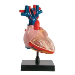 [COG] 심장 - 인체모형시리즈
