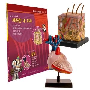 [COG] 심장 / 피부 - 인체모형시리즈